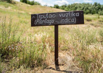 Plantago indica